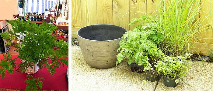 Cuidados de la planta citronela en interior y exterior