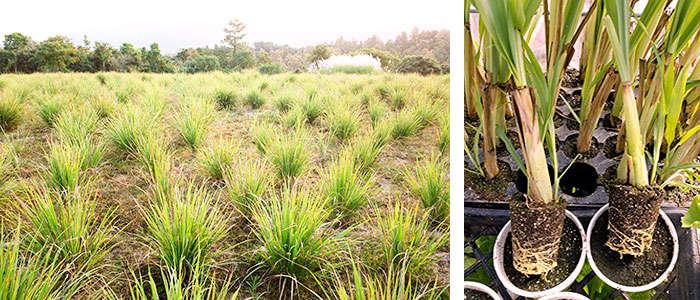 Planta de citronela en maceta y huerto de cultivo